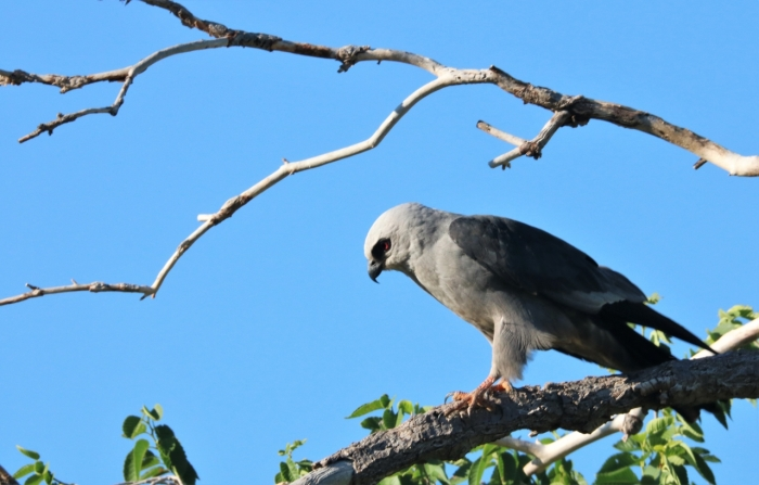 Mississippi Kite (6)1280x819] 19