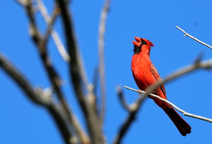 Northern Cardinal (11)1280x874] 02