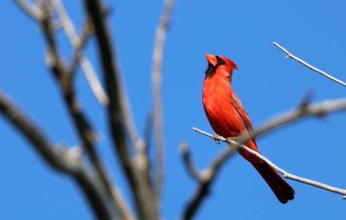 Northern Cardinal (12)1280x815] 03