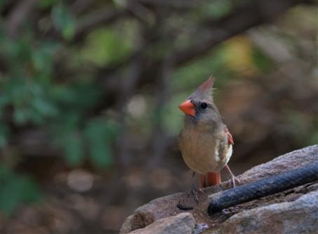 Northern Cardinal (13)1280x945] 04