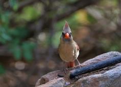 Northern Cardinal (14)1280x925] 05