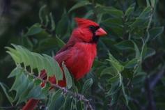 Northern Cardinal (15)1280x853] 06