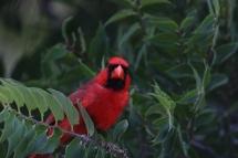 Northern Cardinal (17)1280x853] 07
