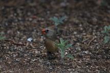 Northern Cardinal (19)1280x853] 08