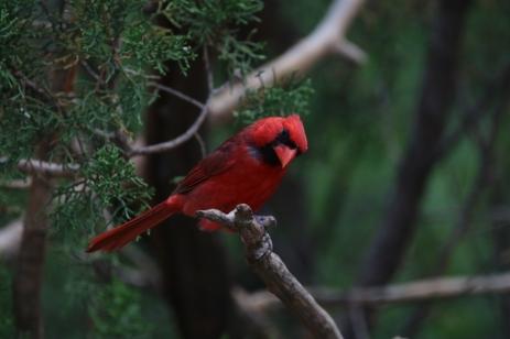 Northern Cardinal (23)1280x853] 10