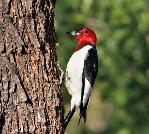 Red-headed Woodpecker (1)1135x1024] 59