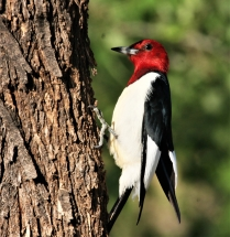 Red-headed Woodpecker (2)995x1024] 60
