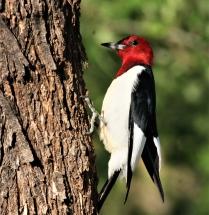Red-headed Woodpecker (2)995x1024] 60