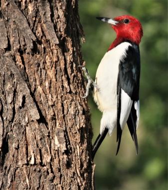 Red-headed Woodpecker (4)907x1024] 62