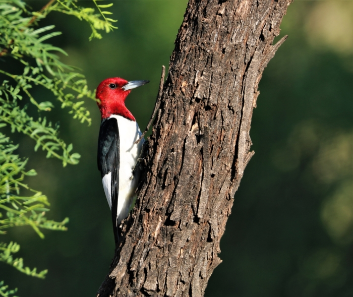 Red-headed Woodpecker (6)1215x1024] 04