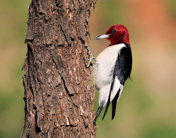 Red-headed Woodpecker (9)1280x1005] 07