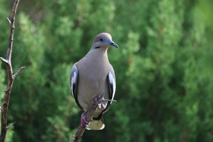 White-winged Dove1280x853] 12