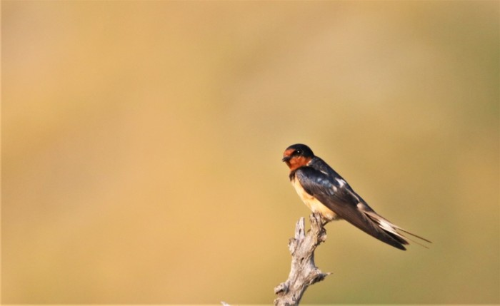 Barn Swallow1280x785] 01