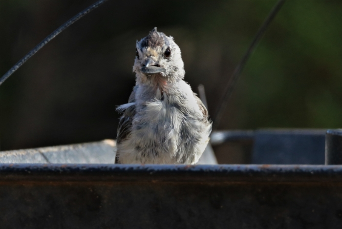 Black-crested Titmouse (10)1280x858] 03