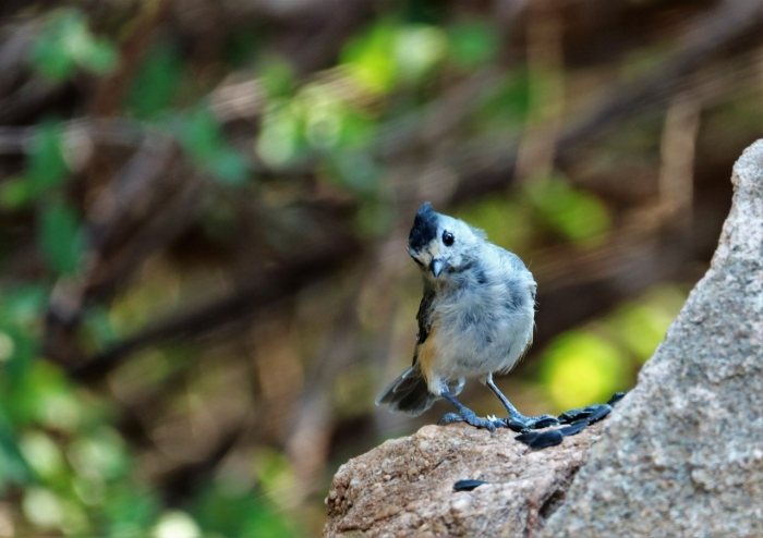 Black-crested Titmouse (16)1280x905] 09
