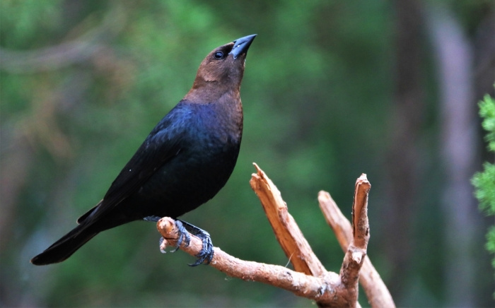 Brown-headed Cowbird1280x798] 11