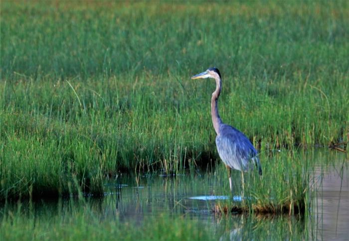 Great Blue Heron (15)1280x886] 24