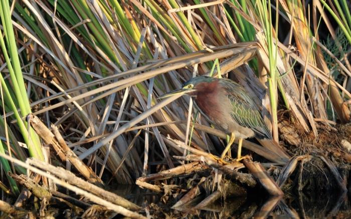Green Heron (19)1280x799] 07