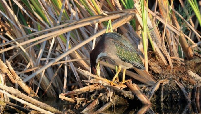 Green Heron (21)1280x730] 09