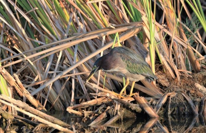 Green Heron (22)1280x828] 10