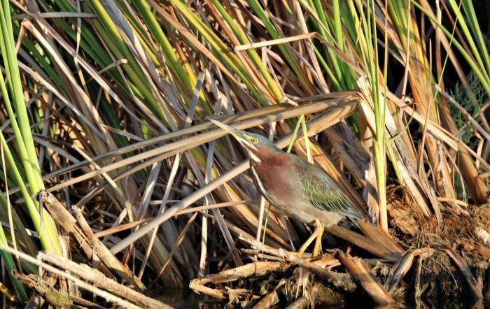 Green Heron (27)1280x810] 14