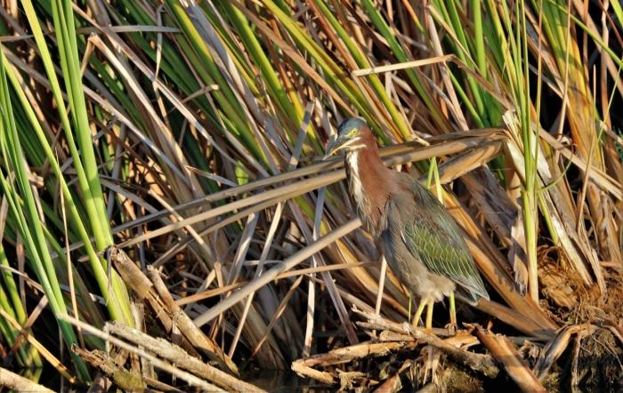 Green Heron (30)1280x809] 17