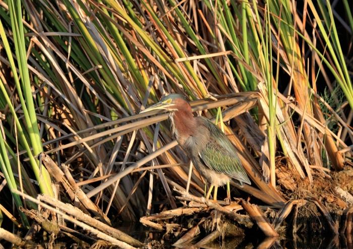Green Heron (32)1280x906] 18