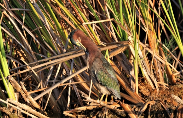 Green Heron (33)1280x825] 19