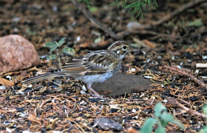 Lark Sparrow (4)1280x827] 25