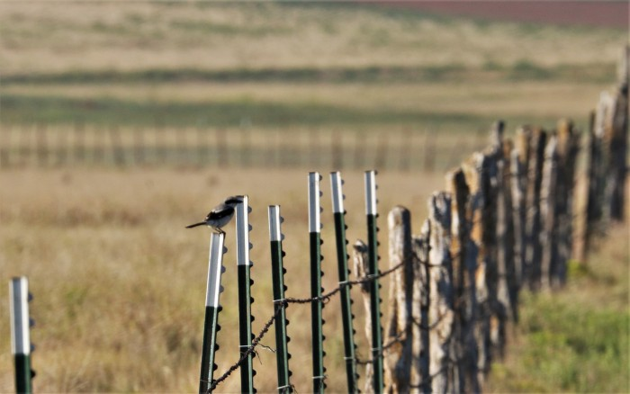 Loggerhead Shrike (4)