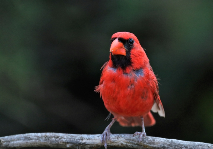 Northern Cardinal (29)1280x898] 27