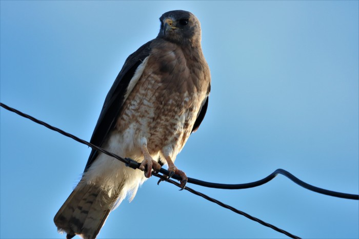 Swainson's Hawk (12)