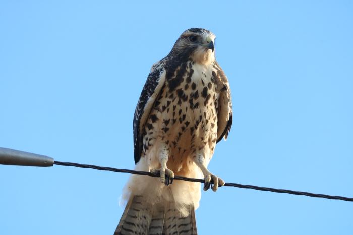 Swainson's Hawk (9)