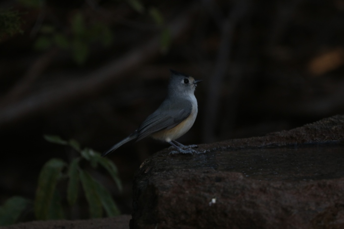 Black-crested Titmouse (17)