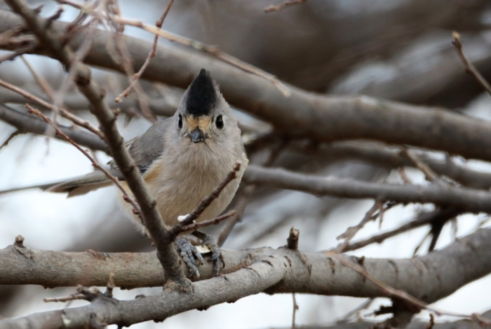 Black-crested Titmouse (18)1024x689] 12