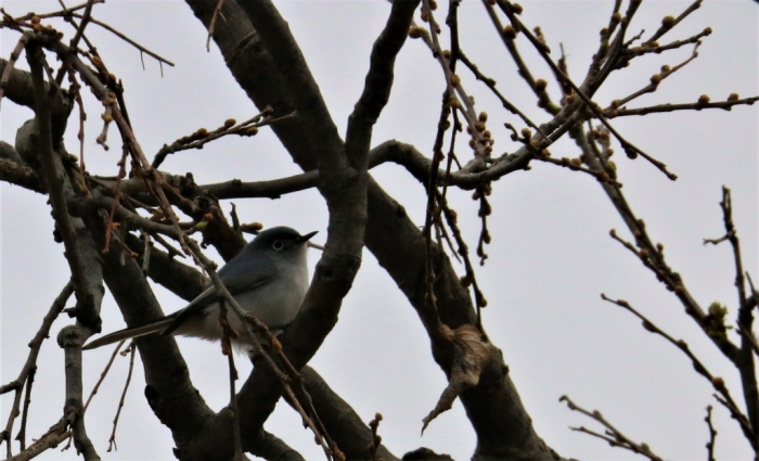 Blue-gray Gnatcatcher (1)1024x623] 01