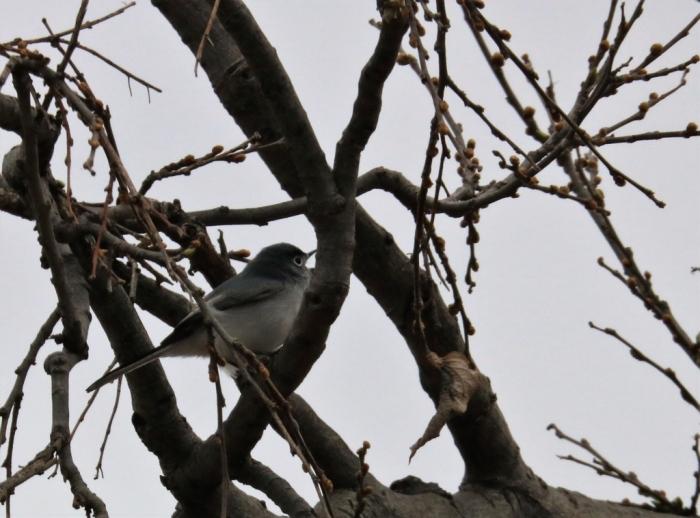 Blue-gray Gnatcatcher (2)1024x759] 02
