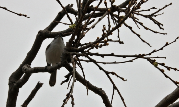 Blue-gray Gnatcatcher (3)1024x617] 03