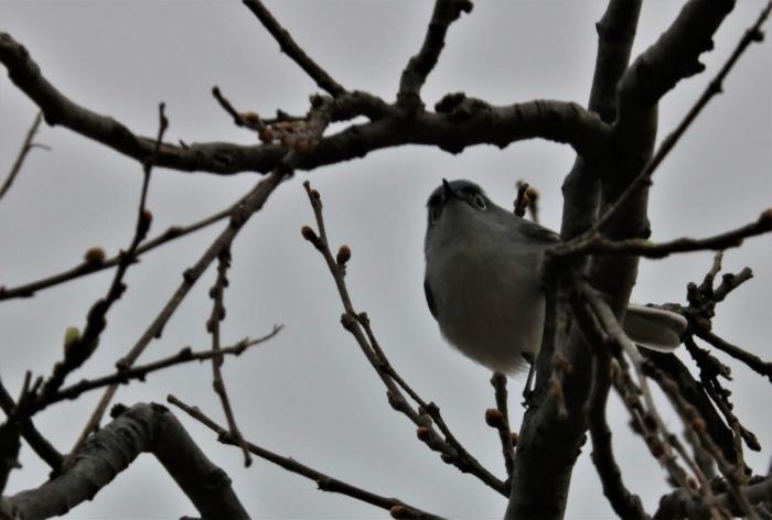 Blue-gray Gnatcatcher (4)1024x691] 04
