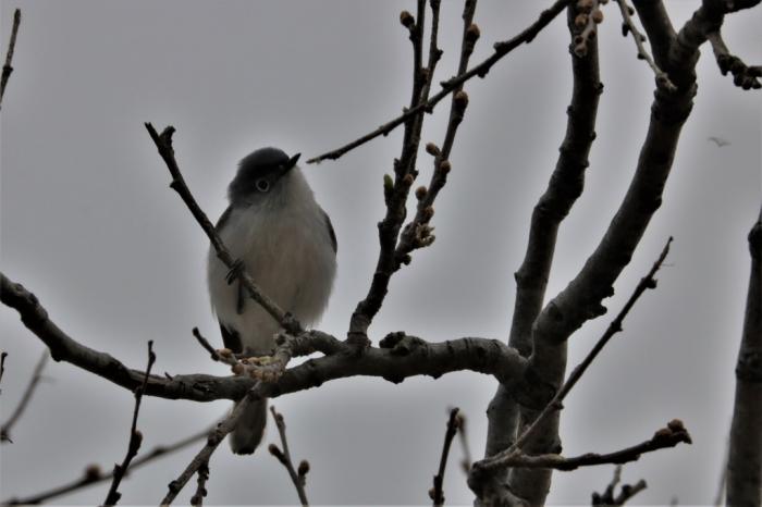 Blue-gray Gnatcatcher (5)1024x683] 05