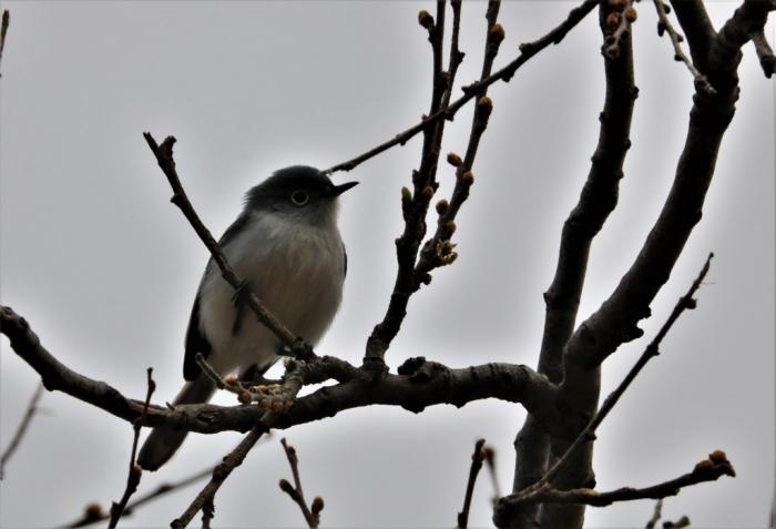 Blue-gray Gnatcatcher (6)1024x699] 06