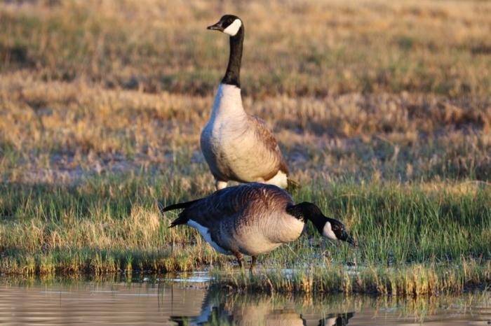 Canada Goose1024x683] 15
