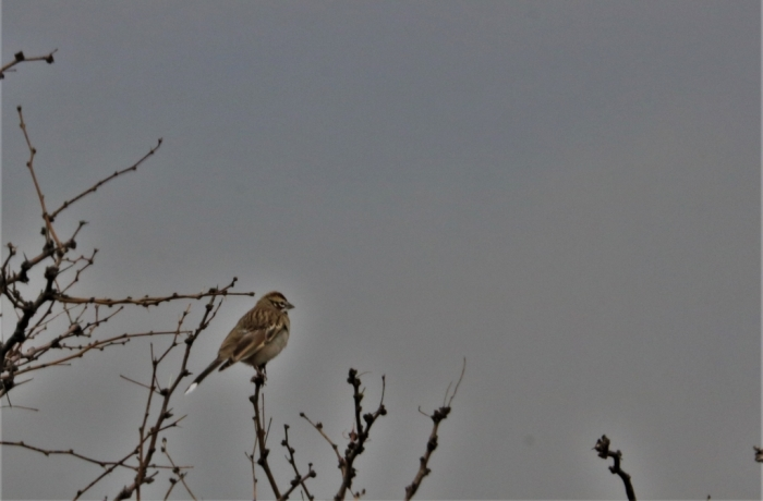 Lark Sparrow (9)1024x674] 08