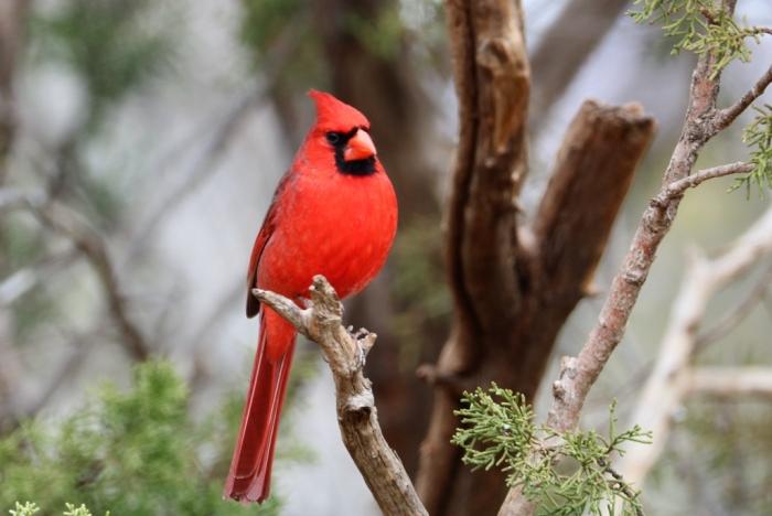 Northern Cardinal (35)1024x686] 50