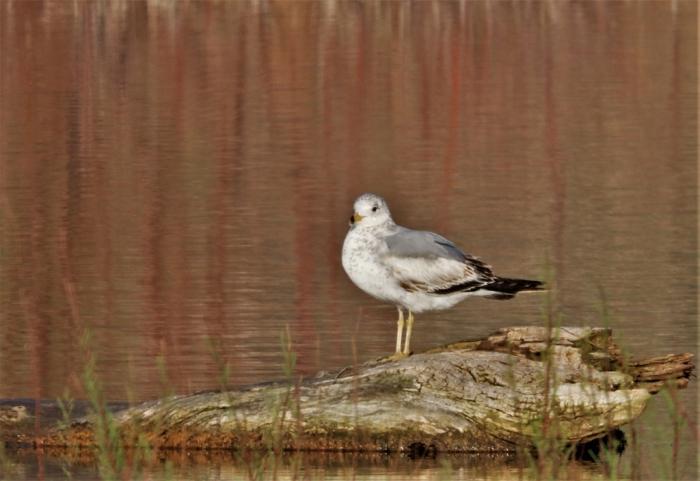 Ring-billed Gull (15)1024x704] 10