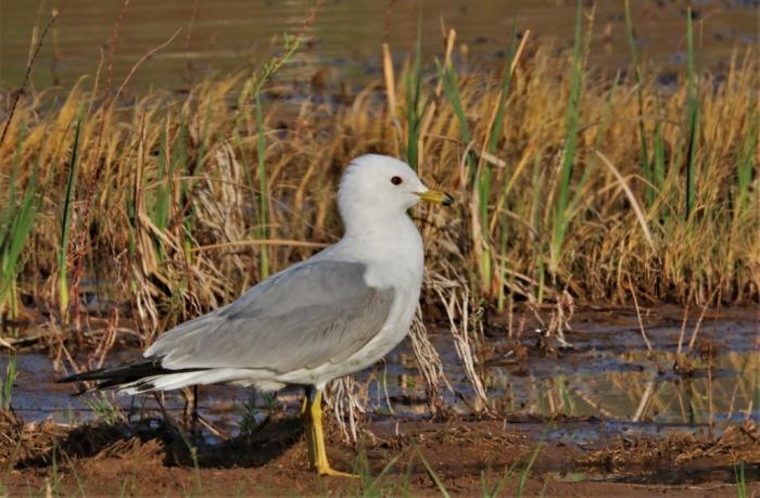 Ring-billed Gull (16)1024x672] 11