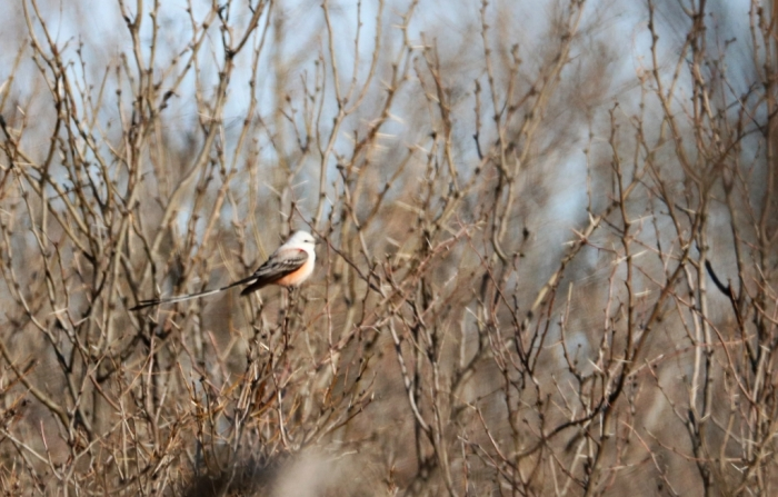 Scissor-tailed Flycatcher1024x654] 57