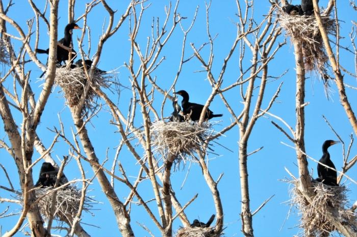 Double-crested Cormorant (1)1024x683] 11