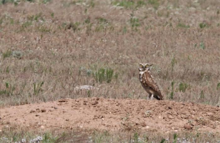 Burrowing owl (18)1024x666] 01