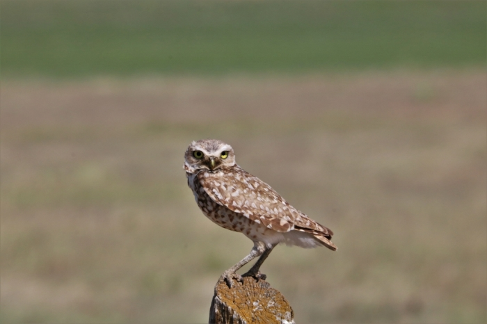 Burrowing owl (19)1024x683] 02